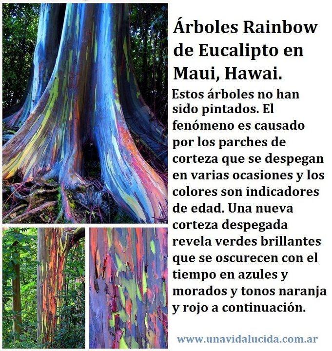 Arbol arcoíris - Eucalipto deglupta