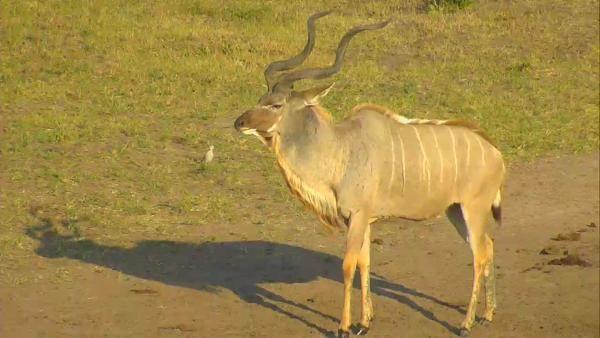 Male Kudu at Nkorho - May 18 2016 - 7:53am | Africam