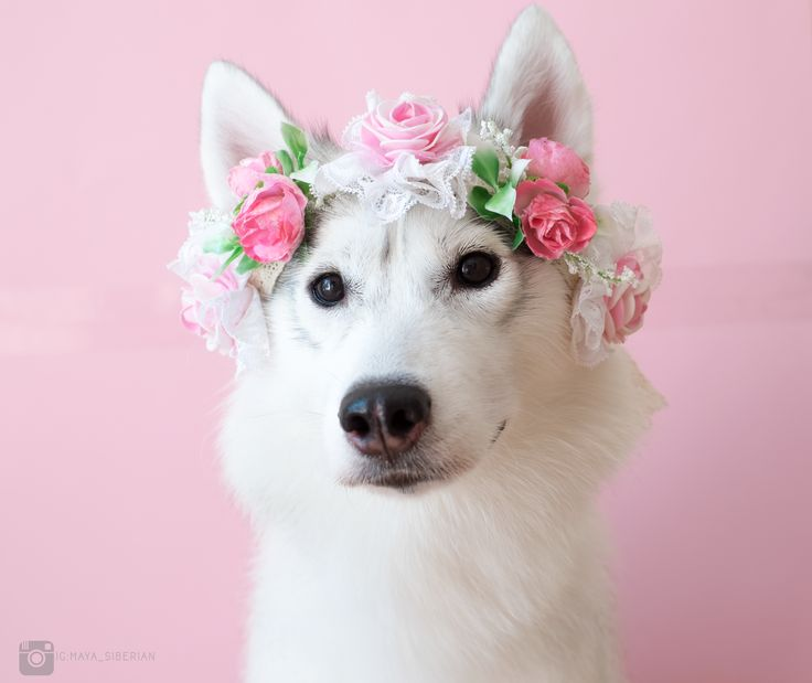 Dog Wheelchair Baby Animals Adorable Beautiful Dogs Flower Crowns Fl Crown Wild Things Husky Creatures
