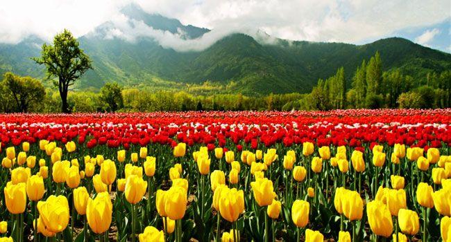 This is Tulip Garden