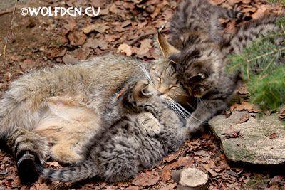 Europese wilde katten