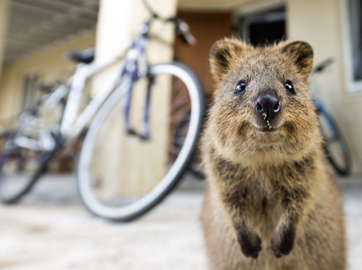 Best Australias Cute Animals Quokkas Images On Pinterest - 15 photos that prove quokkas are the happiest animals in the world