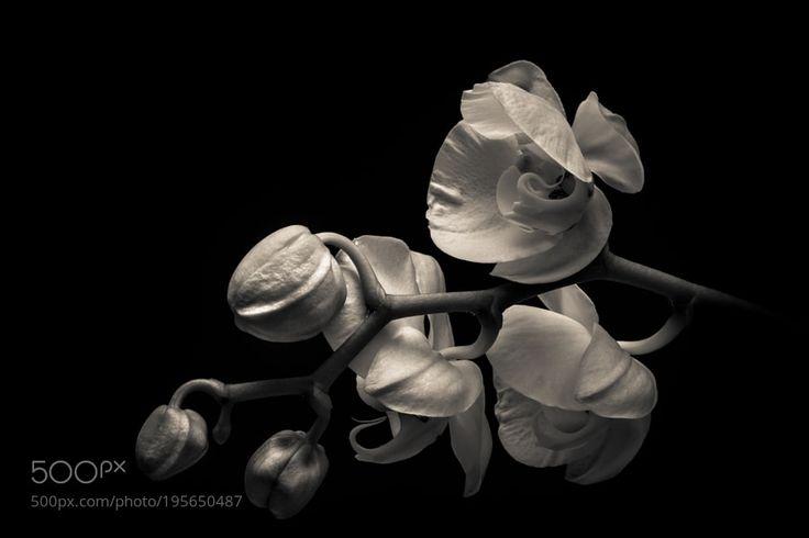 White orchid (mono version) by _istvan_