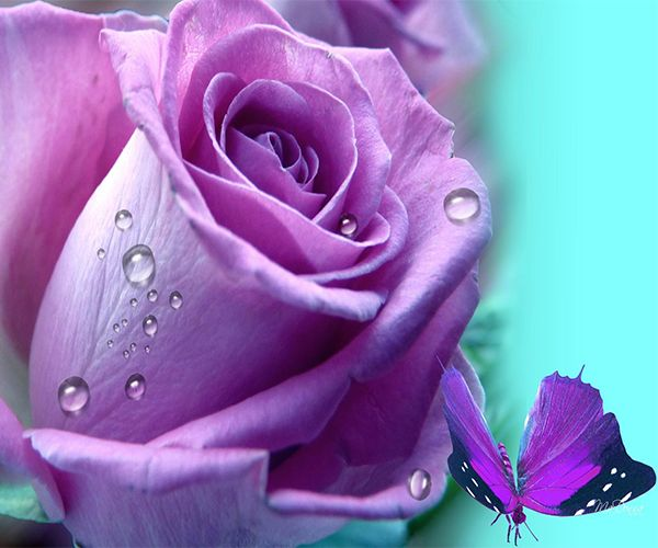 Purple Rose Live Wallpaper Android Apps On Google Play