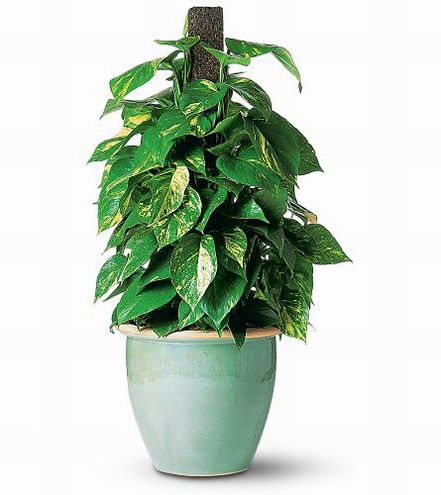 Sri lanka plants for the home or for Indoor gardening wikipedia