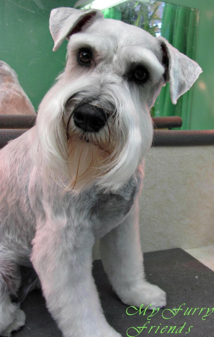 schnauzer haircut styles 311 best images about miniature schnauzer on 2501