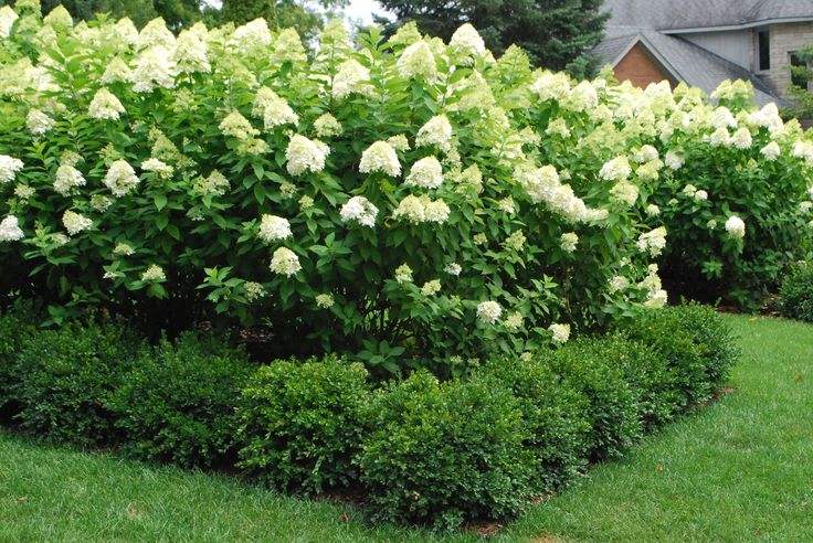 Boxwood does a great job of concealing those inevitably gawky Limelight legs.  They do a better than great job of giving the hydrangeas some winter interes