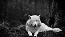 Wolf White Wolf hd wallpapers desktop windows