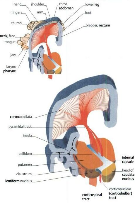 the posterior limb of the internal capsule contains corticobulbar fibers, corticospinal fibers, and the thalamocortical somatosensory radiations. The corticobulbar fibers are closest to the genu.