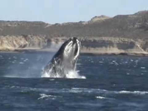 Comenzó la temporada de las ballenas en Puerto Madryn! En este divertido video 360º te invitamos a visitarlas virtualmente; y además te sugerimos este viaje espectacular para que puedas vivir la experiencia del encuentro cercano con ellas! -- http://goo.gl/4wQWNf -- #whales #ballenas #PuertoMadryn #PeninsulaValdes #video #giants #gigantes #nature #naturaleza #naturalbeauties #bellezasnaturales #experience #experiencia #encuentroconballenas #whalesencounter #journey #trip #travel #traveling #