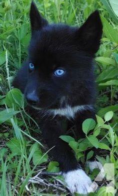 Negro Husky siberiano.