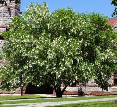Cladrastis kentukea - American yellowwood - white wisteria-like flowers, clear yellow fall color, and smooth, beach-like bark make it an all around favorite tree of those who know it