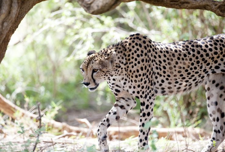 Cheetah op jacht. Cheetah on the hunt. Photo printed on fine mazed canvas. Size: 65 x 100 cm. FOR SALE: 195,00