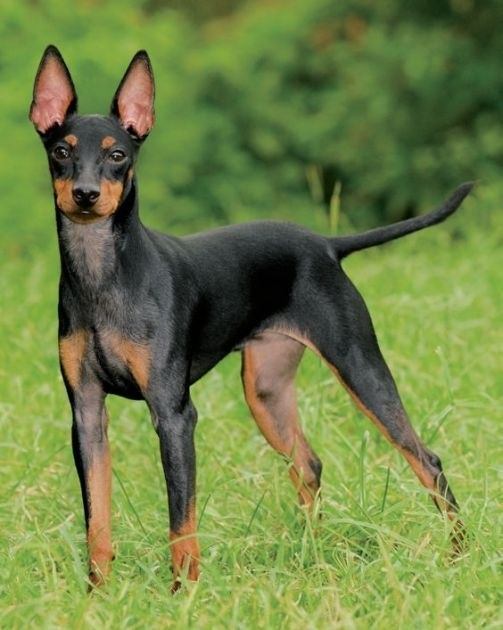 manchester toy terrier - photo #8