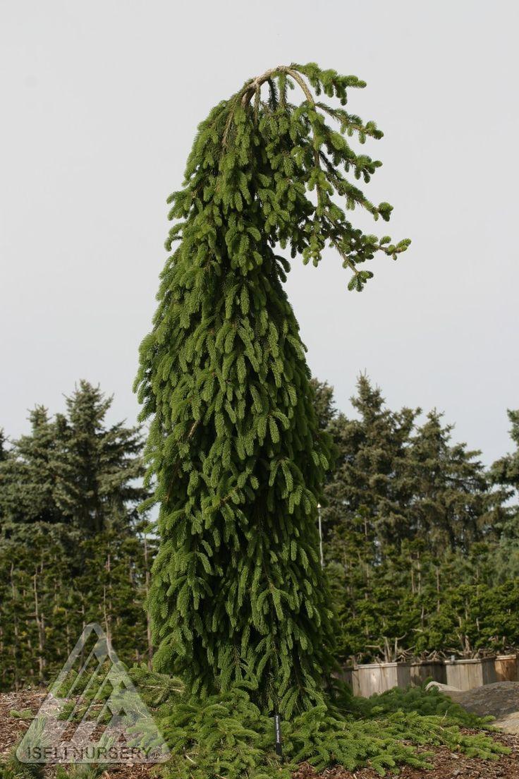 Kigi Nursery - Picea abies ' Frohburg ' Weeping Narrow Norway Spruce, $25.00 (http://www.kiginursery.com/dwarf-miniatures/picea-abies-frohburg-weeping-narrow-norway-spruce/)