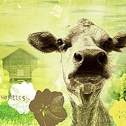 Homeless cow returns!