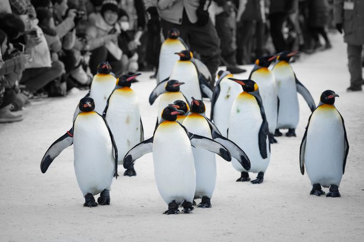 Asahiyama zoo Penguin Parade, Asahikawa, Hokkaido, Japan