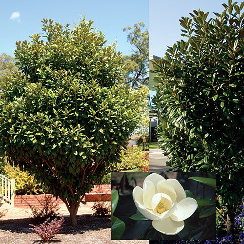 Medium Sized Garden Ideas: Magnolia Grandiflora 'MGTIG' PBR Greenback (R)