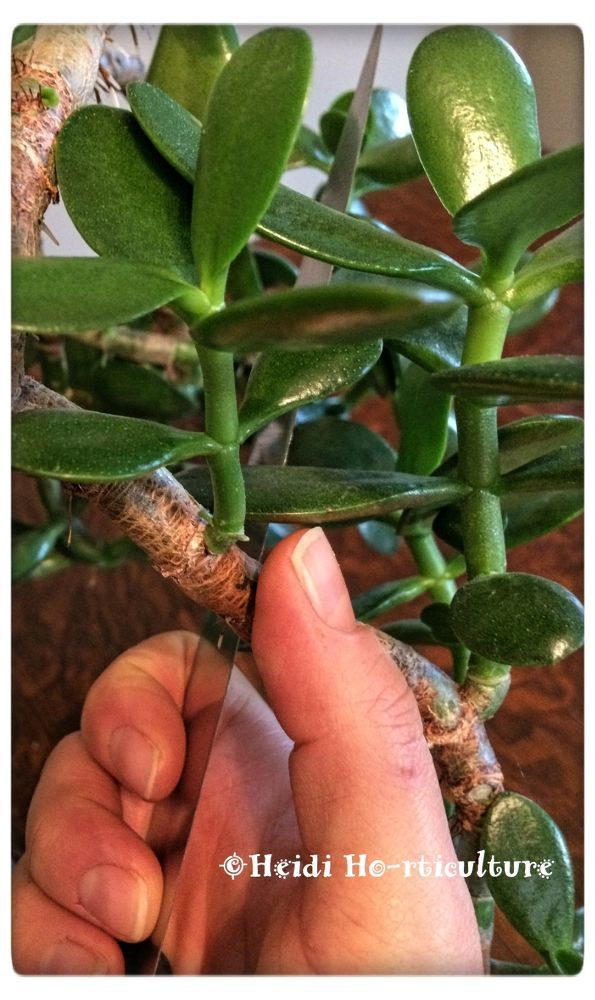 How To Prune Jade Plants To Make More Jade Plants