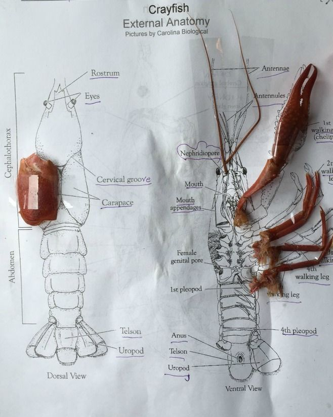 Diagram For Kids Shrimp Diagram Crayfish Diagram Lobster Anatomy