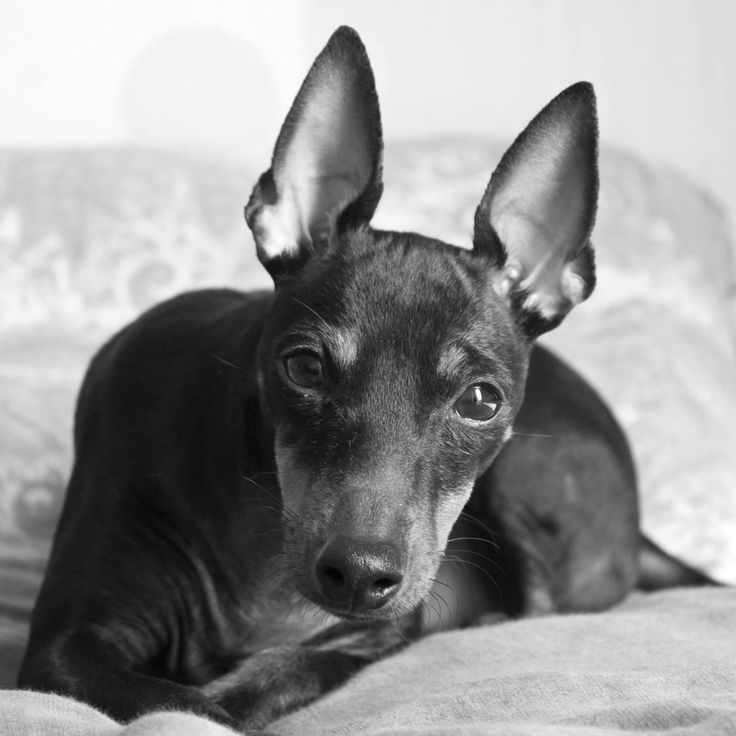 Youkie #AnayaPhotography #EnglishToyTerrier #Dog