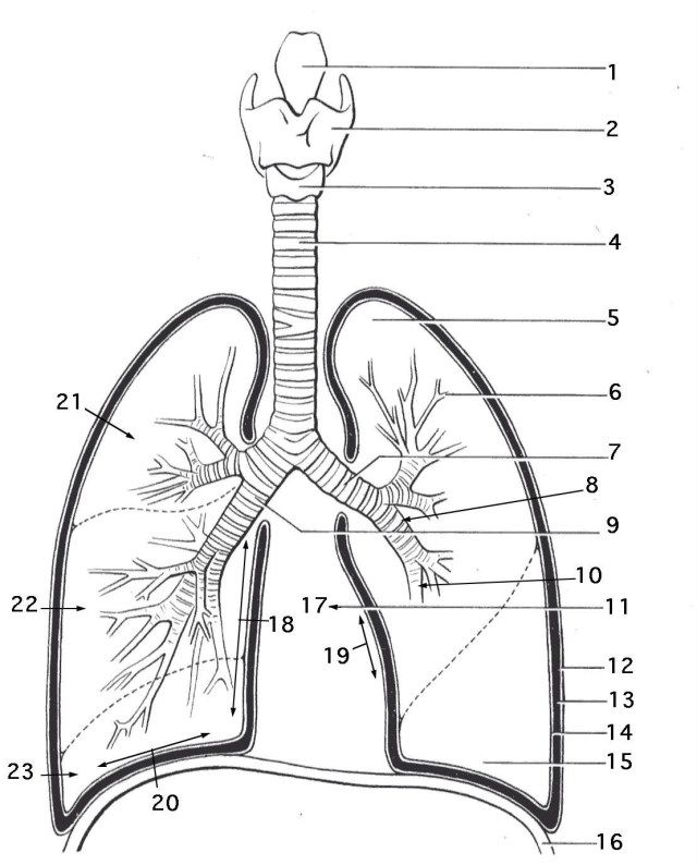 25 Inspired Photo Of Anatomy Coloring Pages Albanysinsanity Com Anatomy Coloring Book Lung Anatomy Coloring Pages