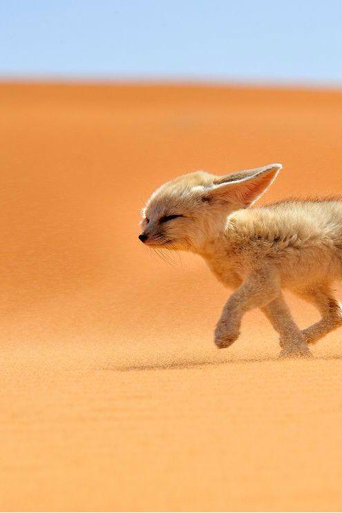 25 best images about fennec fox on pinterest foxes - Pagina da colorare fennec fox ...