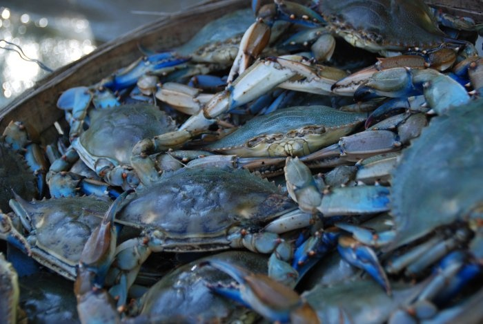chesapeake bay s blue crab Chesapeake bay seasoning, traditionally used for maryland blue crab, has about 20% less salt than the standard seafood seasoning mixes it's great on almost all types of fish and seafood, and the complexity of the ingredients means that it's also nice in seafood cocktail or barbeque sauce, as well as on top of beef or poultry.