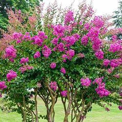 Flowering Shrubs and Trees: Catawba Hardy Crape Myrtle