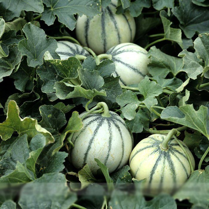 Delivery takes 30-60 days.  Description  Comes in a plain bag without instructions.  Start grow at home any time of the year.  · Brand: New  · Item No.: E3337  · Name: Rare Small Heirloom True French Charentais Gourmet Melon Cucumis Melo Seeds ...
