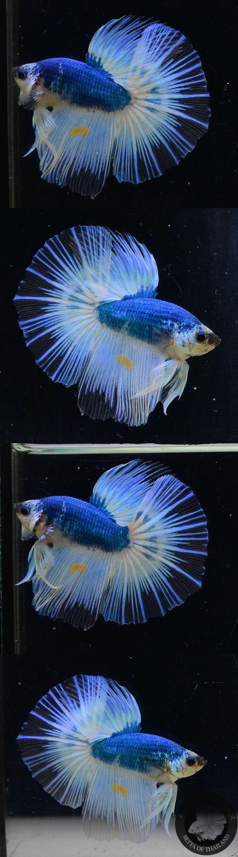 fwbettashm1489735187 - Hm blue&white male