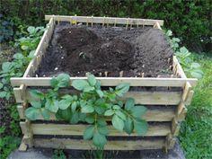 Der Kartoffelturm ca. 3 Wochen nach dem Aufsetzen: Erstes Kartoffel-Laub wächst an der Seite heraus, oben wurde bereits angehäufelt.