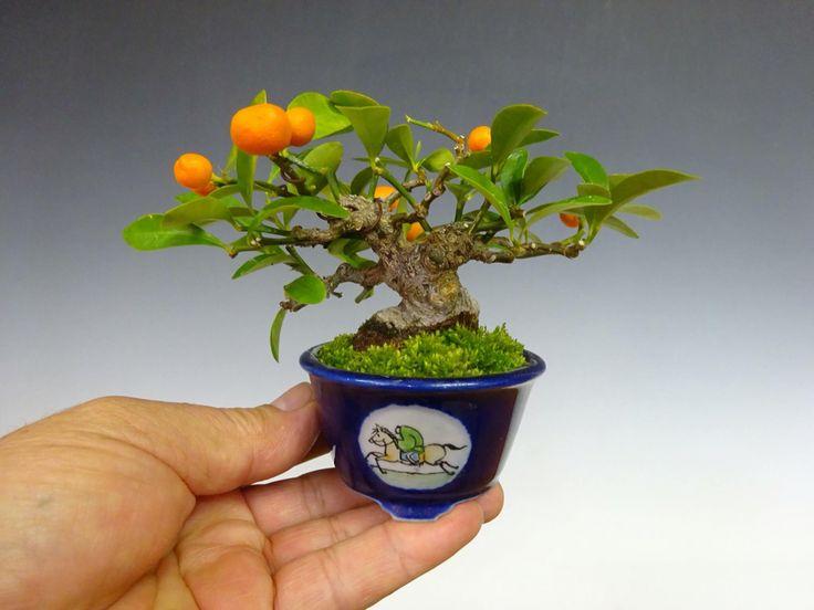 Mini citrus bonsai