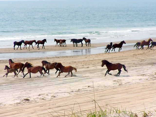 Wild Horses in Outter Banks of NC. So awesome. When I went I saw wild horses but not like this. I will go to this part of the beach next time!