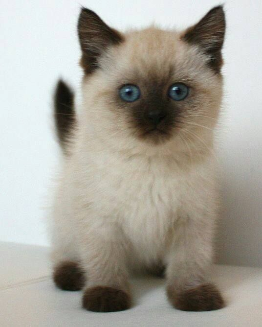 Lily Our Lynx Point Siamese Cat Colors Animals Fur Babies