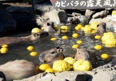 先日の冬至の日に静岡県の伊豆シャボテン動物公園ではカピバラ親子にゆず湯が振る舞われたんだって( 今年月に産まれた赤ちゃんも気持ち良さそうに楽しんでますね( のほほんとした表情がなんとも癒されますよね tags[静岡県]