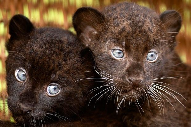 baby black leopard   Two 6-week-old black panther cubs are shown off to the media at the ...