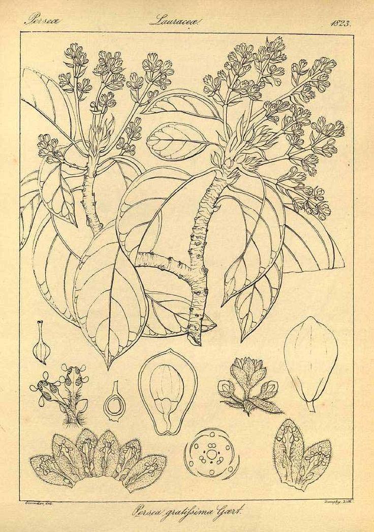 アボカド、ワニナシ クスノキ科 Persea americana (alligator pear, Avocado)  Wight (1823)