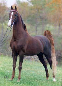 Saddlebred: A sports car on hooves. Favorite.Breed.Ever.