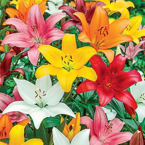 Asiatic Lily Mixture Super Sak® - 12 - early to mid summer.