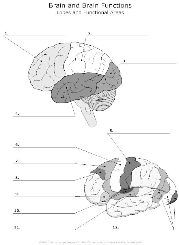 Lobes and Functional Areas of the Brain Unlabeled ...