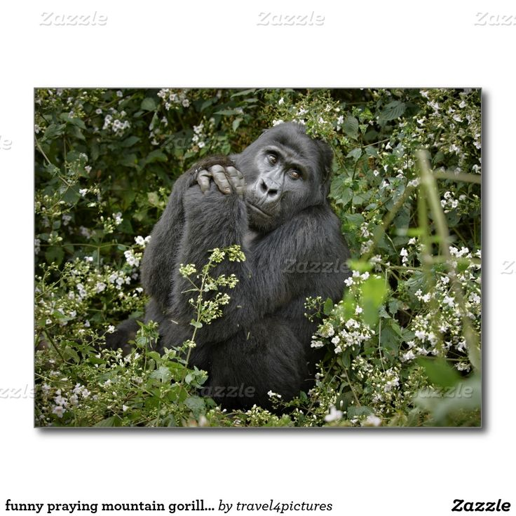 funny praying mountain gorilla :-) postcard