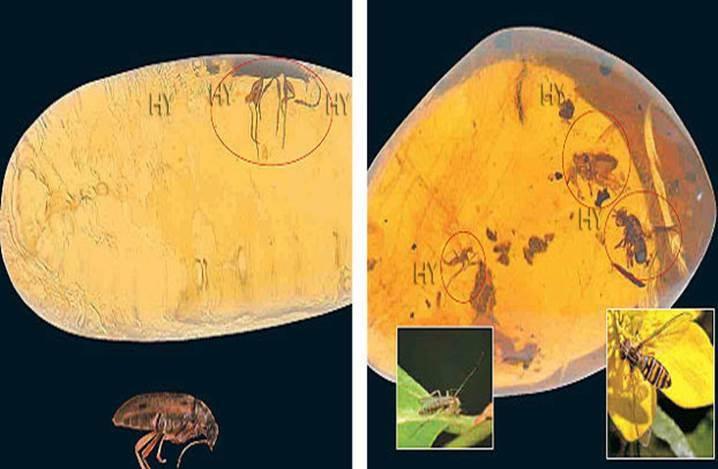 Pedilid Böceği (yukarıda solda)     Dönem: Senozoik zaman, Oligosen dönemi  Yaş: 25 milyon yıl  Bölge: Dominik Cumhuriyeti    2 Lauxanid Sineği, Tatarcık (yukarıda sağda)     Dönem: Senozoik zaman, Oligosen dönemi  Yaş: 25 milyon yıl  Bölge: Dominik Cumhuriyeti