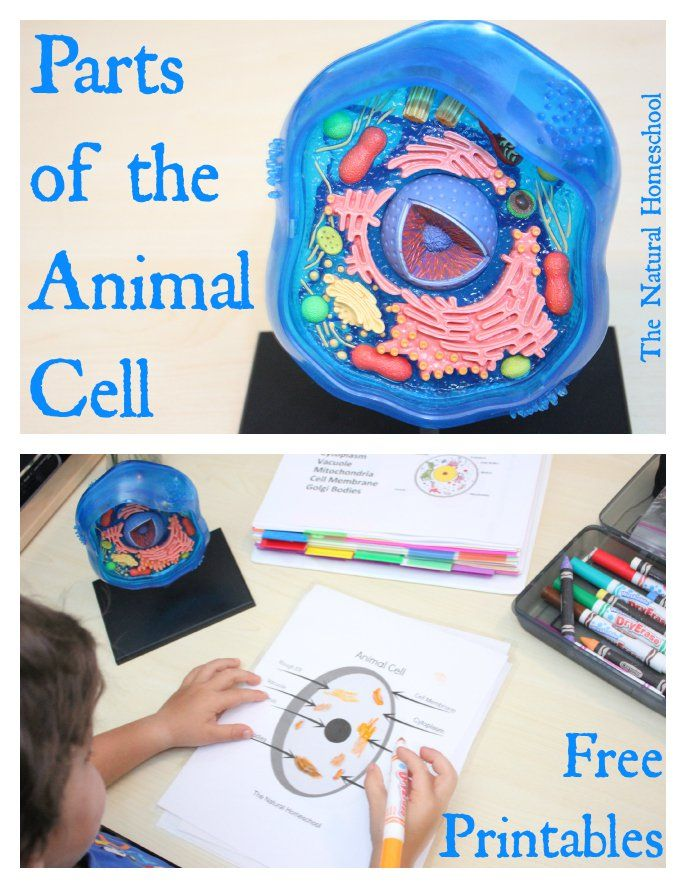 This lesson is on Parts of the Animal Cell with Free Printables. We learn its parts, we label them, draw them, use a hands-on 3D model and a printable set to make it all easy to retain.