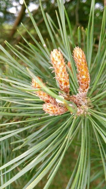 BOROVICE - Pinus silvestris Sběr borovicových pupenů je už o bylinkářské vášni…