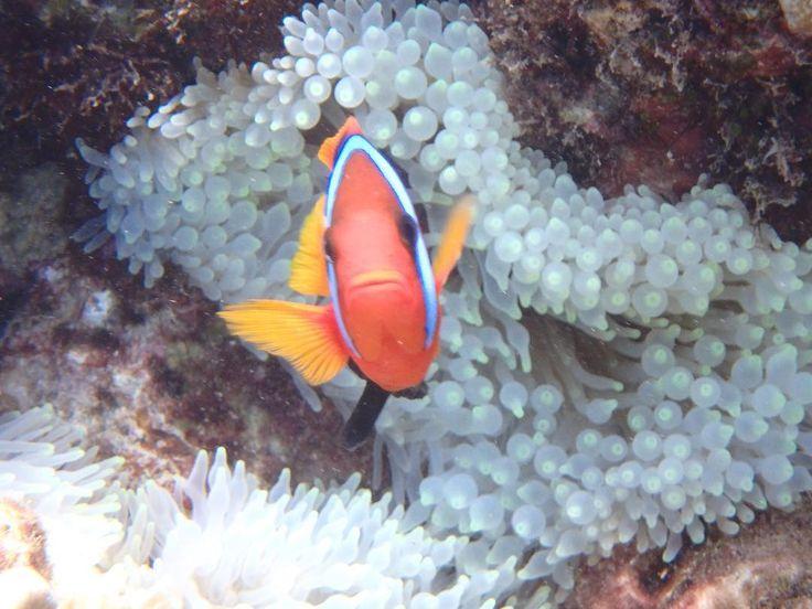 #オーストラリア#ケアンズ#クイーンズランド州#グレートバリアリーフ#珊瑚#海#青#アウターリーフ#シュノーケリング#スキンダイビング#ダイビング#レッドアンドブラックアネモネフィッシュ#australia #cairns#queensland#greatbarrierreef#ocean#sea#blue#underthesea#coral#outerreef#snorkeling#skindiving#diving#redandblackanemonefish by underthesea_24 http://ift.tt/1UokkV2
