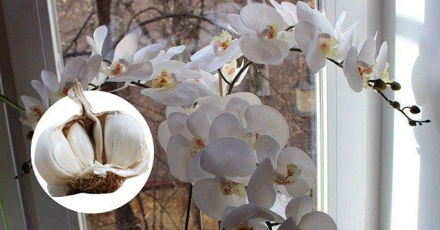 Чеснок спасение для орхидей! Через месяц мой фаленопсис выпустил несколько — Мир интересного
