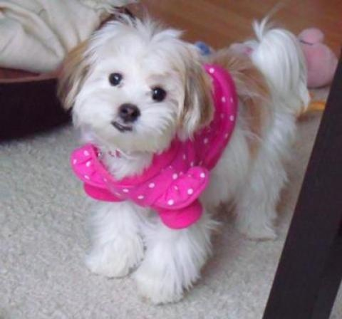 White lhatese with a very cute face!: Animal Planets, Animal Lovers, Maltese Dogs, Apso Cuti, Malt Dogs,  Maltese, Pet Animal, White Lhate, Adorable Animal