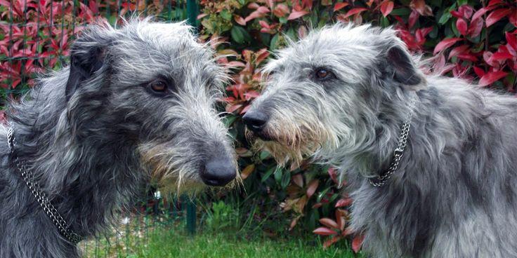 http://best5.it/post/deerhound-levriero-scozzese-signore-della-razza-canina/