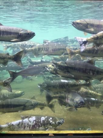 Puntledge River Hatchery, Courtenay: See 12 reviews, articles, and 3 photos of Puntledge River Hatchery, ranked No.13 on TripAdvisor among 38 attractions in Courtenay.